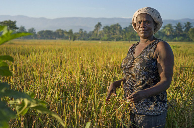 A Black female farmer standing in a rice field in Haiti just before the harvest